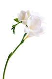 frezja gałęziasty biel Zdjęcie Royalty Free