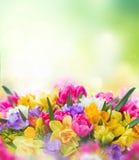 Frezja i daffodil kwiatów granica Fotografia Royalty Free