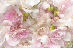 Frezja kwiatów bielu menchii pączki Fotografia Stock