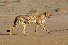 förfölja för cheetah Royaltyfria Bilder