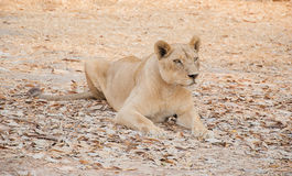 Förfölja för tiger Arkivfoton