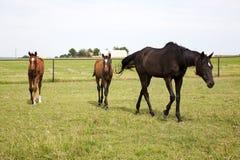 Färga bilden av tre hästar som betar i grön äng Arkivbilder