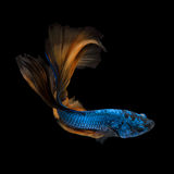 Färgglad Betta fisk, Siamese stridighetfisk Arkivfoton