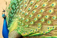 färgglad påfågel Royaltyfri Bild