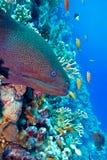 Färgrik korallrev med den farliga stora morayålen Royaltyfri Fotografi