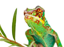 färgrik manlig för kameleont Arkivfoto