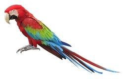 Färgrik röd papegojamacaw Arkivfoto