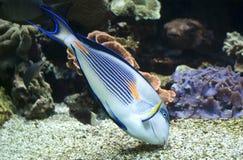 Färgrik sohal fisk & x28; Acanthurussohal& x29; Royaltyfria Bilder