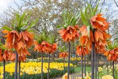 Färgrika blommor och blomningen i holländsk vår arbeta i trädgården Keukenhof, Nederländerna Arkivfoton