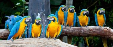 färgrika macaws Arkivfoto