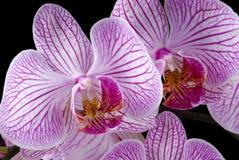 färgrika orchids Arkivfoto