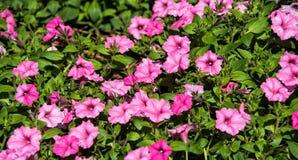 Färgrika rosa petunias trädgård Royaltyfria Foton
