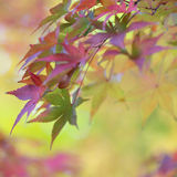 Färgrika sidor av trädet för japansk lönn i höst Royaltyfria Foton