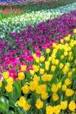 Färgrika tulpanfält Royaltyfri Bild