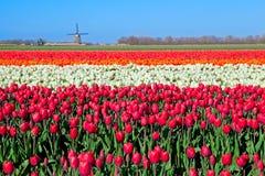 Färgrika tulpanfält och holländsk väderkvarn Royaltyfria Bilder