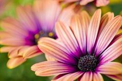 färgrika tusenskönor Royaltyfri Foto