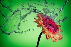 Färgstänk på en tusensköna Royaltyfria Bilder