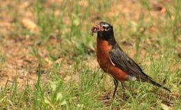 Früher Vogelwurm Lizenzfreies Stockbild