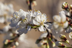 Frühling - neues Wachstum und Blumen auf einem mexikanischen Pflaumenbaum Stockfotografie