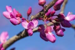 Frühling - neues Wachstum und Blumen auf einem Redbud-Baum Lizenzfreie Stockfotografie