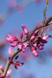 Frühling - neues Wachstum und Blumen auf einem Redbud-Baum Stockfotografie