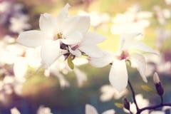 Frühling Schöne rosafarbene Magnolie-Blumen Lizenzfreies Stockbild