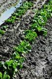 Frühlings-Kopfsalat Lizenzfreies Stockfoto
