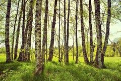 Frühlingsbirkenbäume Stockfotografie