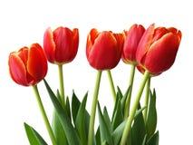 Frühlingsblumen - Tulpen Stockfoto