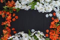 Frühlingsblumenrahmenhintergrund mit weißer Kirschblüte und roten Blumen Stockbild