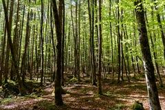 Frühlingsbuchen-Waldhintergrund Stockfotografie