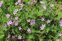 Frühlingsbusch mit kleinen Blumen Stockbilder