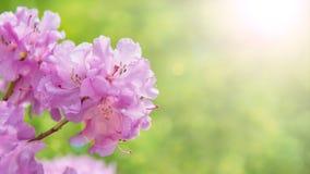 Frühlingsgrenzhintergrund mit Rhododendronblumen, colorised Bild mit Sonnenaufflackern Lizenzfreie Stockfotos
