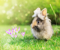 Frühlingshasebaby im Garten auf Gras mit Krokus blüht Stockfotos