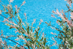 Frühlingshintergrund mit Niederlassung der blühenden Weide über dem Wasser Stockbild