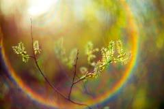 Frühlingsknospen und -Blendenfleck Stockfotos