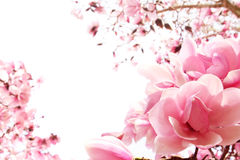 Frühlingsmagnoliebaum in der Blüte Stockbild
