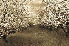 Frühlingsobstgarten Lizenzfreies Stockfoto