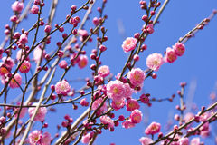 Frühlingspflaumeblüte breitet sich rosafarbene Blume aus Lizenzfreie Stockfotografie