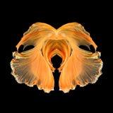 Fri form för abstrakt konstfisksvans av den Betta fisken Royaltyfri Foto