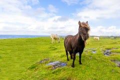 Fri irländsk strand för ponny, august 2016 Arkivfoton