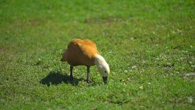 Fri områdeand i lantgård i byn som fritt går på djur ranch fågel på lantgårdsjön bruka åkerbrukt höns arkivfilmer