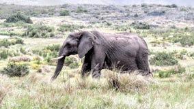 Fri ströva omkringelefant i den afrikanska busken Fotografering för Bildbyråer