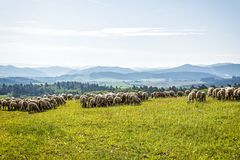 Fria betande sheeps i bergen Royaltyfria Bilder