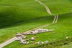 Fria får på ett grönt fält i en sommardag i Tuscany, Italien Arkivbilder