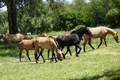 fria hästar Royaltyfri Foto