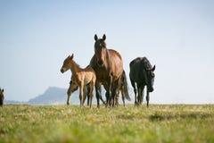 Fria hästar Royaltyfri Fotografi