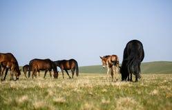 Fria hästar Fotografering för Bildbyråer