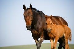 Fria hästar Royaltyfria Bilder
