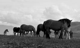 Fria hästar BW arkivfoto